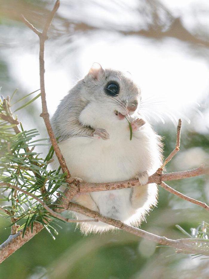 ecureuil-volant-01