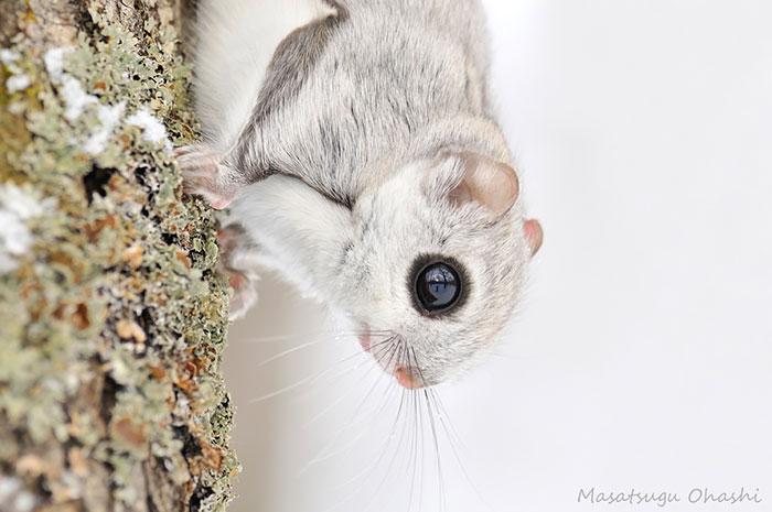 ecureuil-volant-04