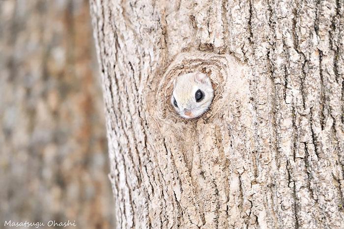 ecureuil-volant-05