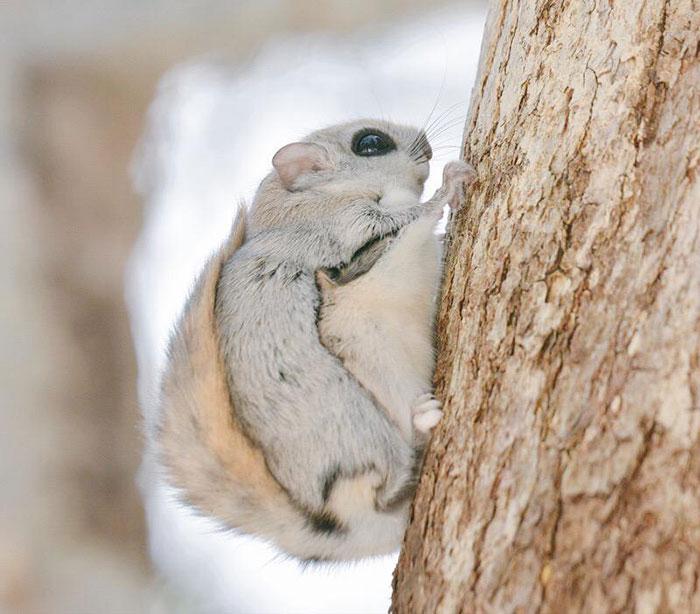 ecureuil-volant-07