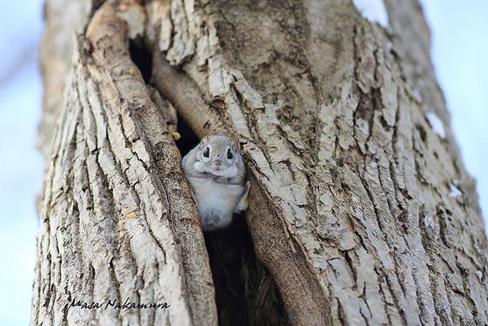 ecureuil-volant-09