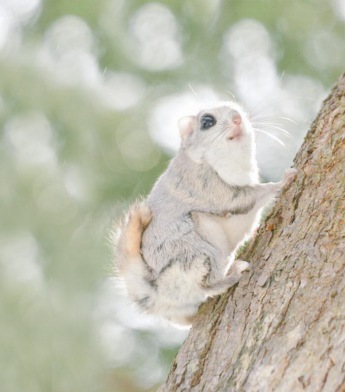 ecureuil-volant-10
