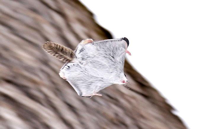 ecureuil-volant-12