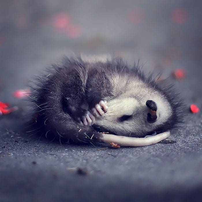 15 adorables opossums et opossums d'Amérique