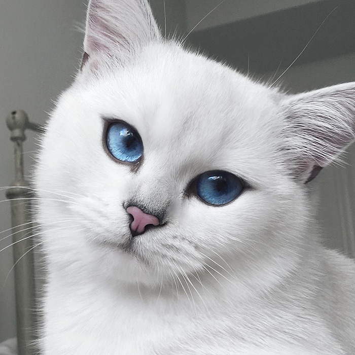 chat-yeux-bleus-coby-03