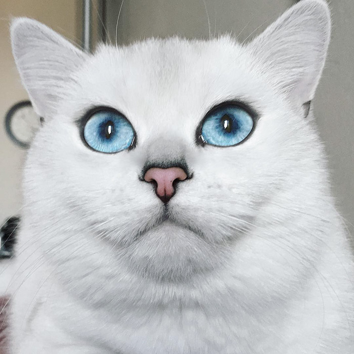 chat-yeux-bleus-coby-06