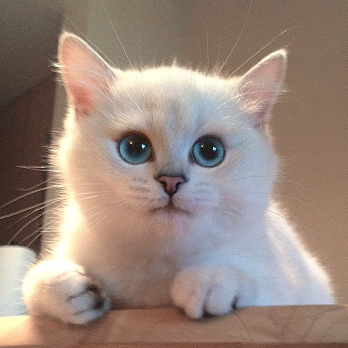 chat-yeux-bleus-coby-10