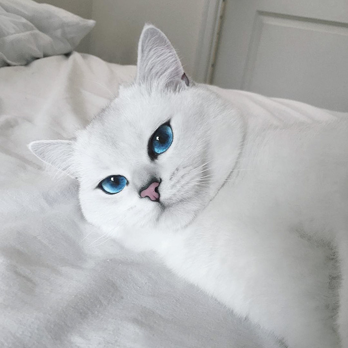 chat-yeux-bleus-coby-12