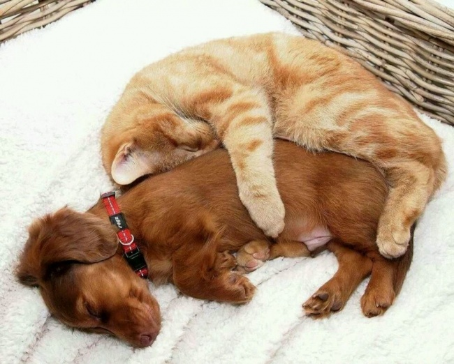 chiens-chats-amis-18