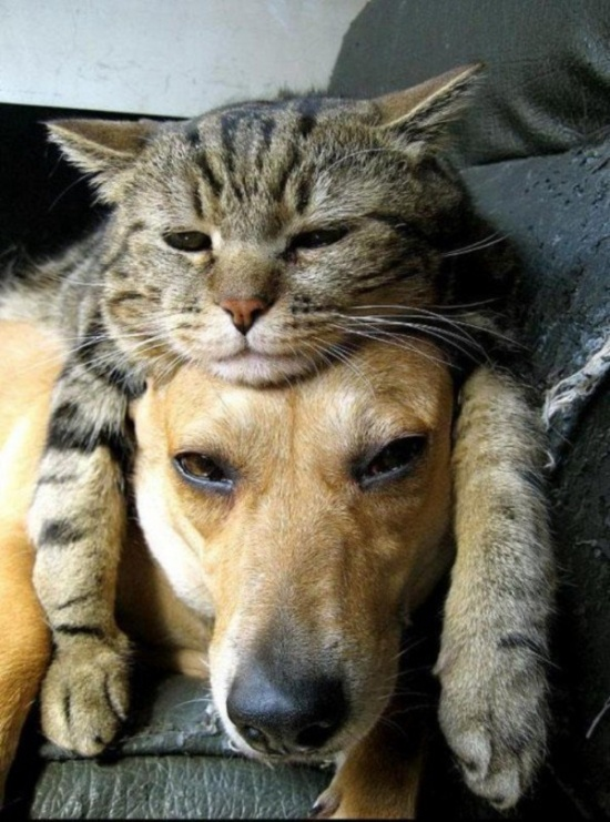 chiens-chats-amis-20