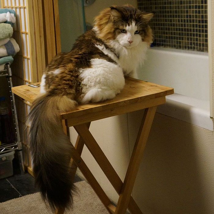 chat-maine-coon-samson-07