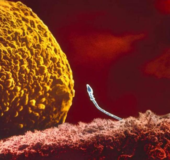 embryon-humain-lennart-nilsson-02