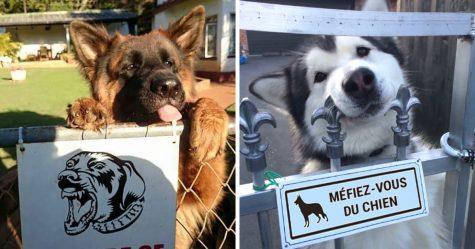 30 chiens dangereux derrière des enseignes «méfiez-vous du chien»