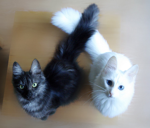 chats-noirs-blancs-15