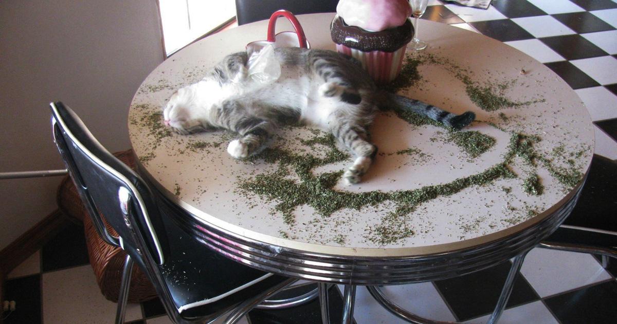 30 fois où des chats ont trouvé de l'herbe-aux-chats et chat.exe a cessé de fonctionner