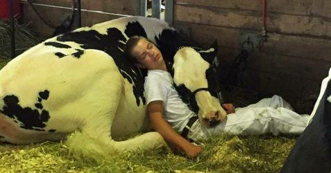 40 photos de vaches adorables qui prouvent qu'elles sont simplement de gros chiens