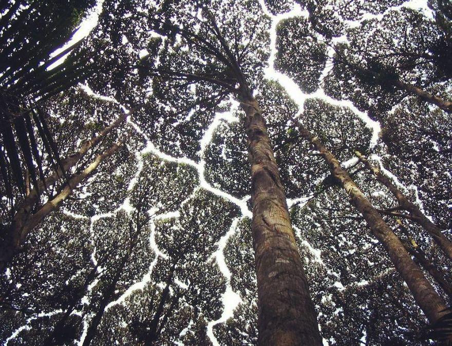 27 exemples invraisemblables de «timidité», un phénomène par lequel les arbres évitent de se toucher