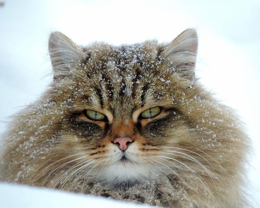 Des chats sibériens ont complètement envahi la terre de ce fermier, et ils sont absolument majestueux