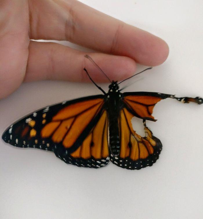 Une femme opère un papillon monarque avec une aile brisée, et le lendemain il la surprend de la façon la plus cool