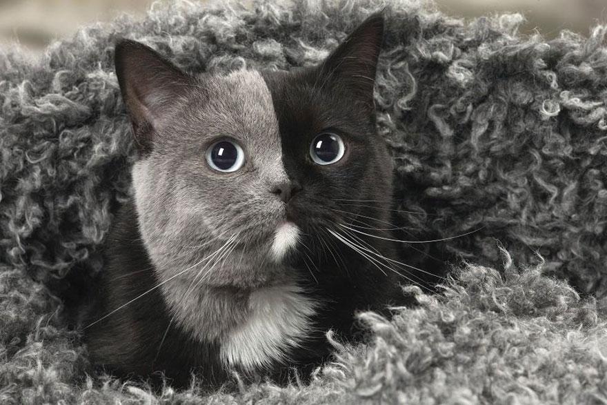 Ce rare chaton né avec «deux faces» a grandi et est devenu le plus beau chat de tous les temps