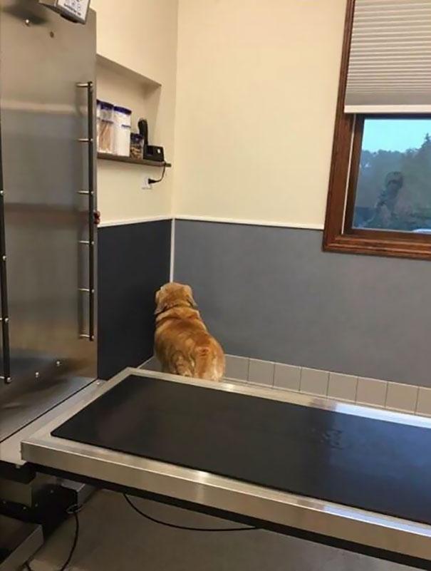 20 fois hilarantes où des chiens ont réalisé qu'ils allaient chez le vétérinaire et non au parc