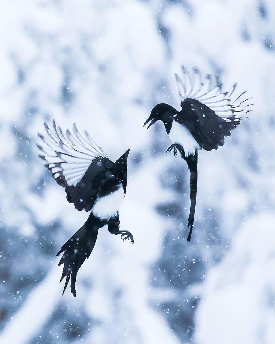 Ce photographe photographie des oiseaux qui semblent sortis tout droit de «Angry Birds», et on est incapable d'arrêter de les regarder