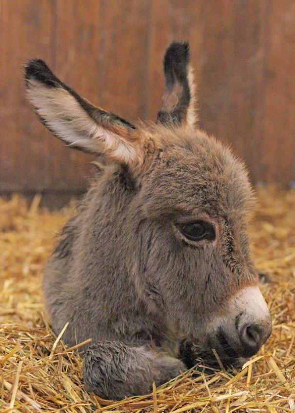Si jamais vous êtes triste, ces 20 bébés ânes mignons vous feront assurément sourire