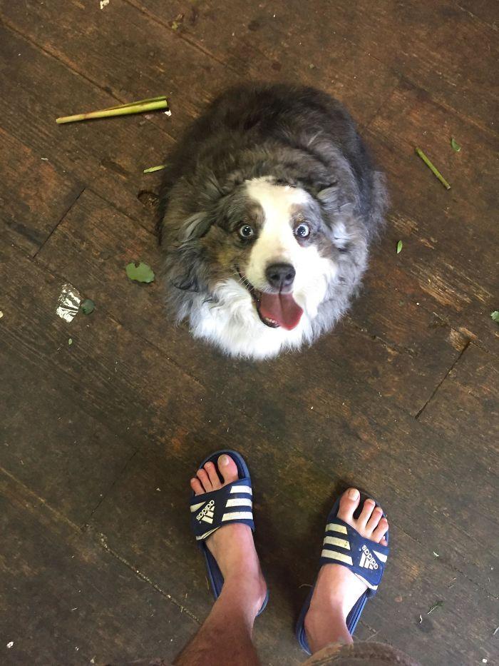 20 raisons pour lesquelles les bergers australiens sont les meilleurs chiens