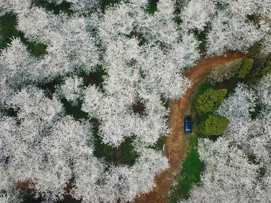 Les cerisiers viennent juste de fleurir en Chine, et c'est probablement l'un des spectacles les plus incroyables de la planète