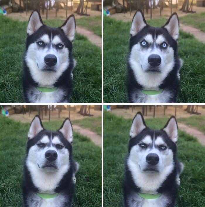 20 photos hilarantes qui prouvent que les huskies sont les chiens les plus bizarres au monde