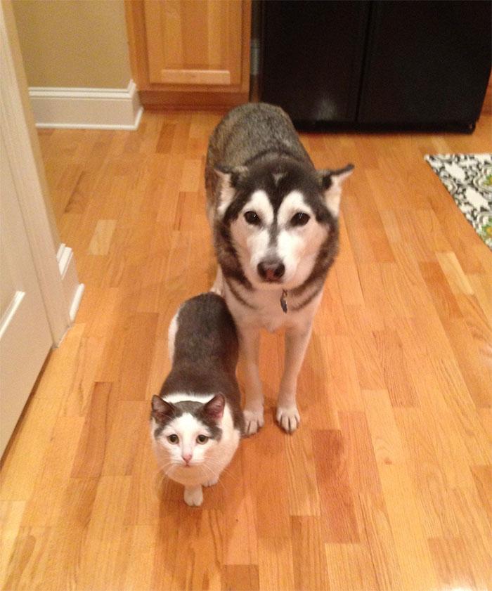 27 photos hilarantes qui prouvent que les huskies sont les chiens les plus bizarres au monde