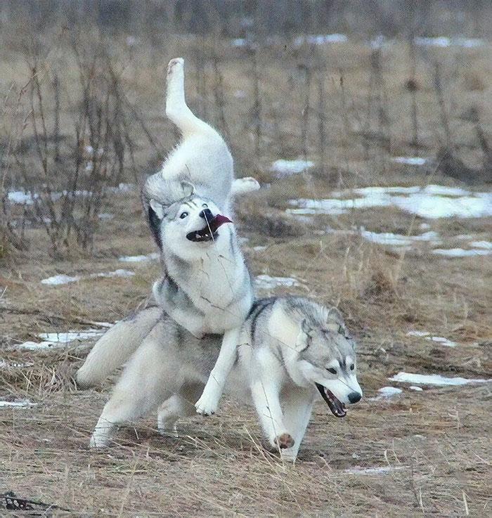 27 photos hilarantes qui prouvent que les huskies sont les chiens les plus bizarres du monde