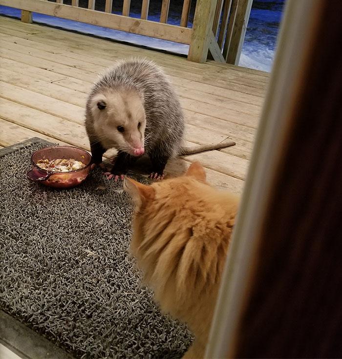 La réaction de ce chat qui se fait voler sa bouffe par un opossum est de plus en plus drôle à chaque photo