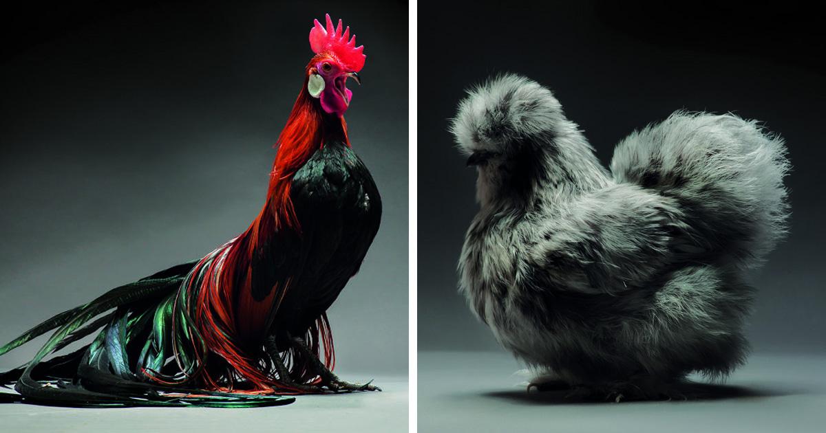 Nous avons photographié des centaines de poules et de coqs les plus magnifiques au monde – regardez-les comme ils sont beaux!