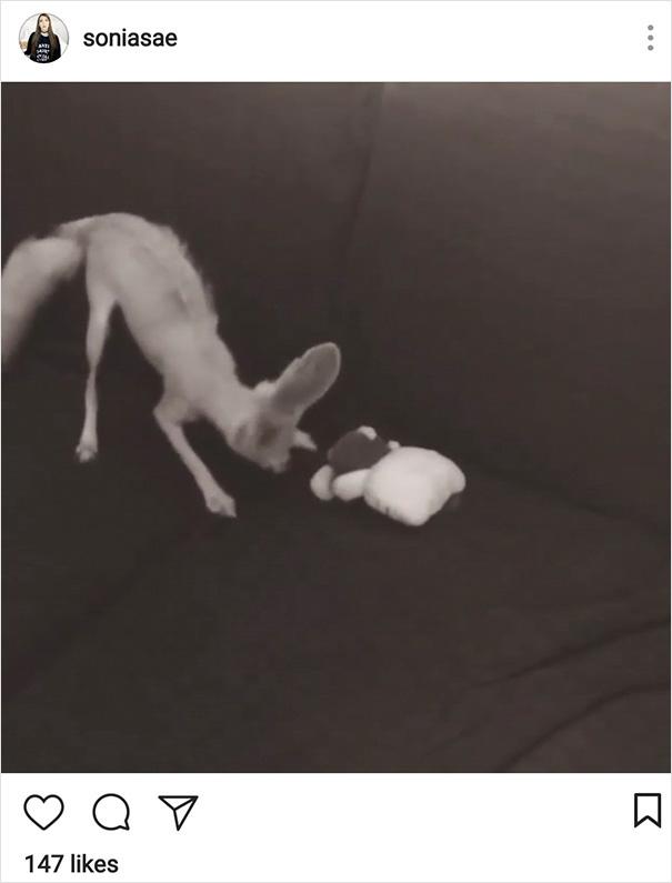 Une femme végane a forcé son renard à devenir végane, et voici ce qui s'est produit
