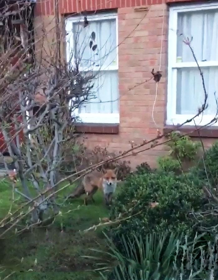 Un gars se rapproche un peu trop d'un renard sauvage pour prendre une photo, et il regrette maintenant son choix