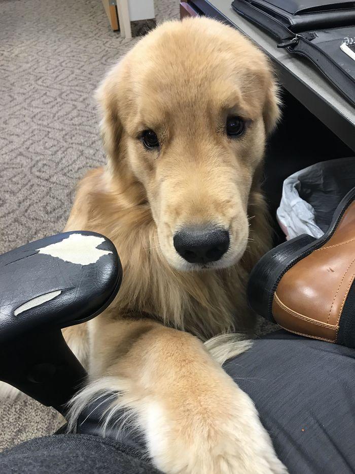 20 fois où les retrievers ont prouvé qu'ils sont les meilleurs chiens du monde