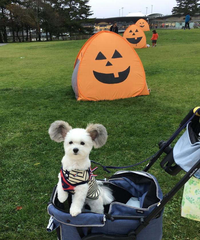 Les internautes sont obsédés par ce chien avec des oreilles de Mickey Mouse, et ses photos vont vous faire sourire