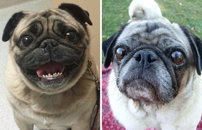 50% des chiens à museaux courts ne peuvent pas respirer correctement, voici comment y remédier