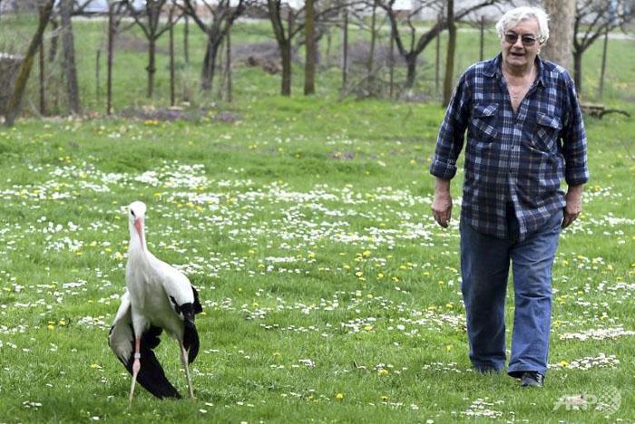 Cette cigogne parcourt 13000 km chaque année depuis 16 ans pour voir son âme soeur blessée