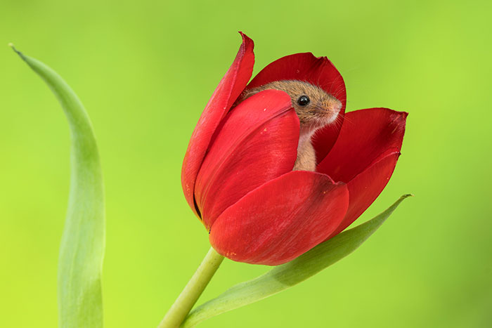 Un photographe marche doucement parmi les tulipes pour photographier des souris des moissons et le résultat va égayer votre journée