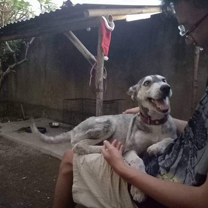 Ce husky était si mal nourri quand il a été trouvé qu'il ressemblait à un squelette, mais 10 mois plus tard, il est méconnaissable
