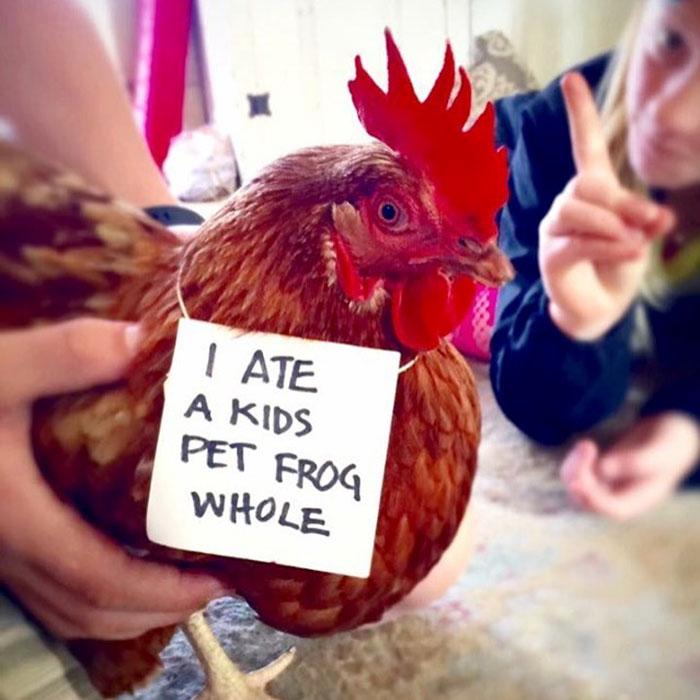 Des fermiers humilient leurs poulets pour leurs «crimes» et c'est juste trop drôle à voir