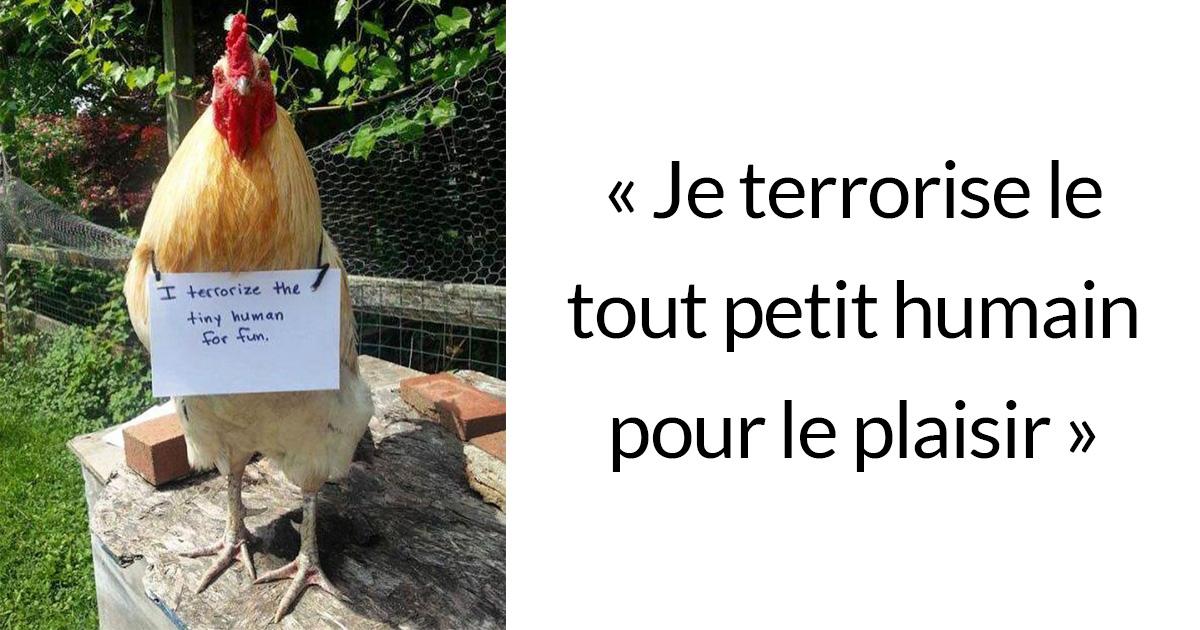 Des fermiers humilient leurs poulets pour leurs « crimes » et c'est juste trop drôle à voir