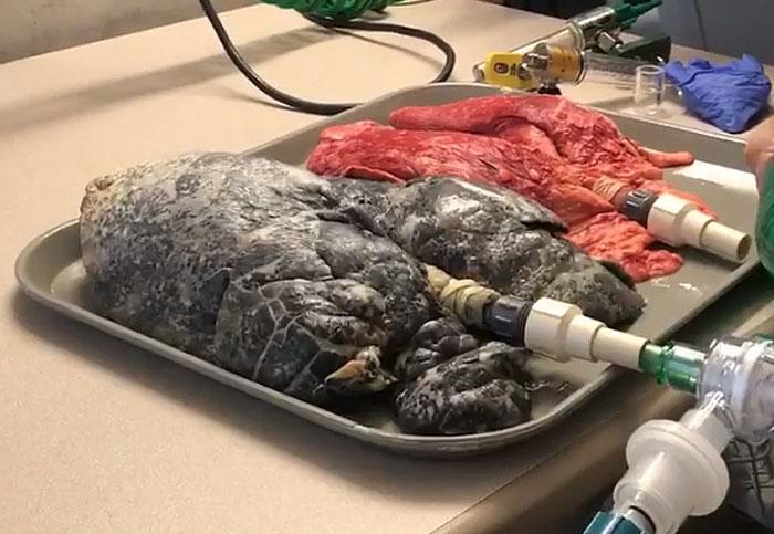 Ces images troublantes d'une infirmière qui gonfle des poumons sains et de fumeur révèlent ce que la cigarette fait à votre corps