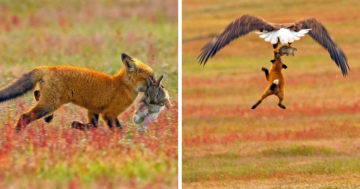 Cette bataille épique entre un renard et un pygargue pour un lapin s'intensifie à chaque photo