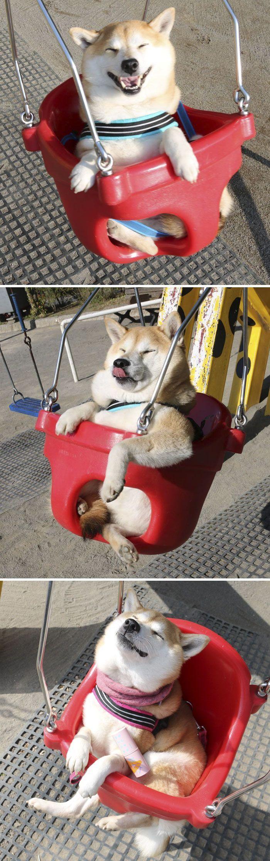 20 fois où les shibas ont prouvé qu'ils sont les chiens les plus drôles de tous les temps