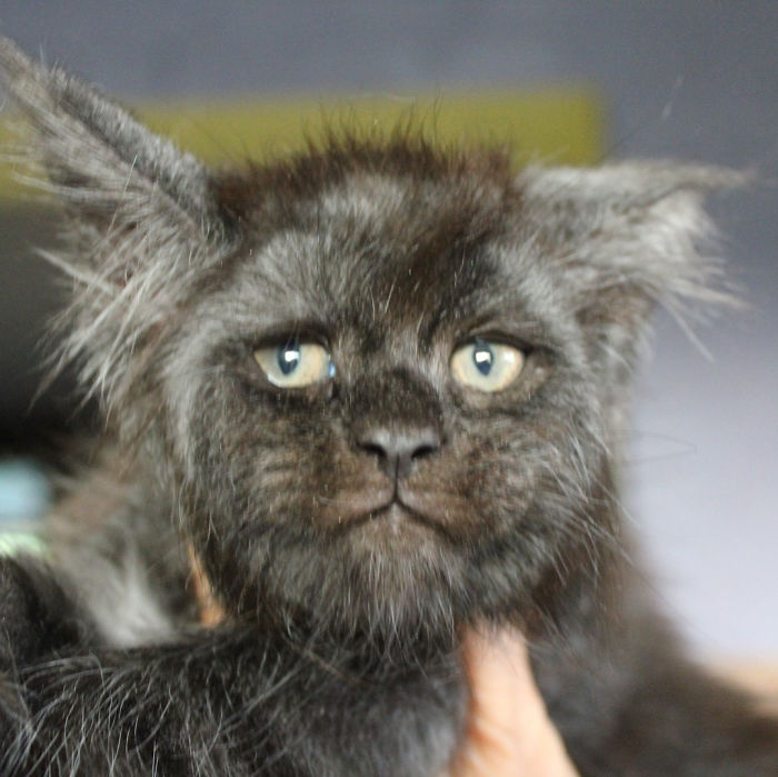 Ce chat avec un visage humain est la nouvelle vedette du Web, et on ne peut plus effacer son visage de notre mémoire