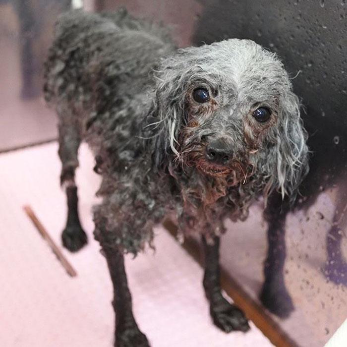 Cette toiletteuse d'animaux japonaise transforme complètement les chiens
