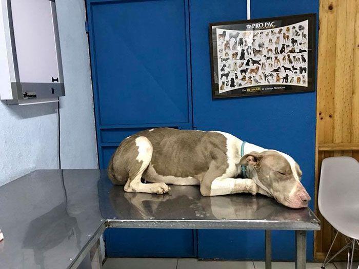 Cette chienne qui ne pouvait jamais se reposer la tête à cause d'une chaîne trop courte a été secourue et les photos d'après vont vous faire sourire